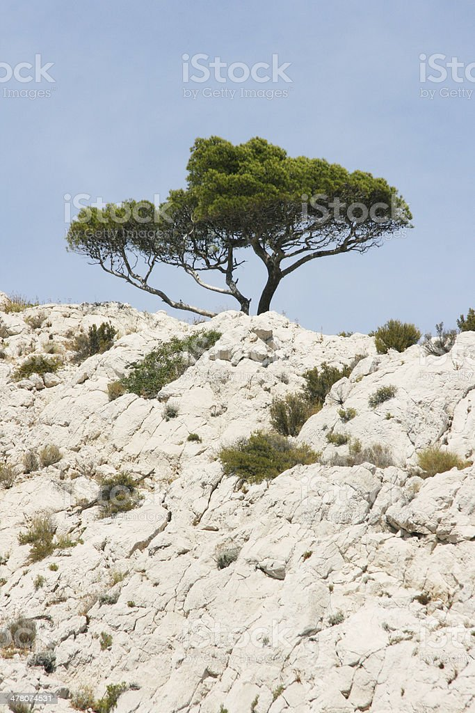 Pine tree in the calanques of Marseille, french riviera, France. stock photo