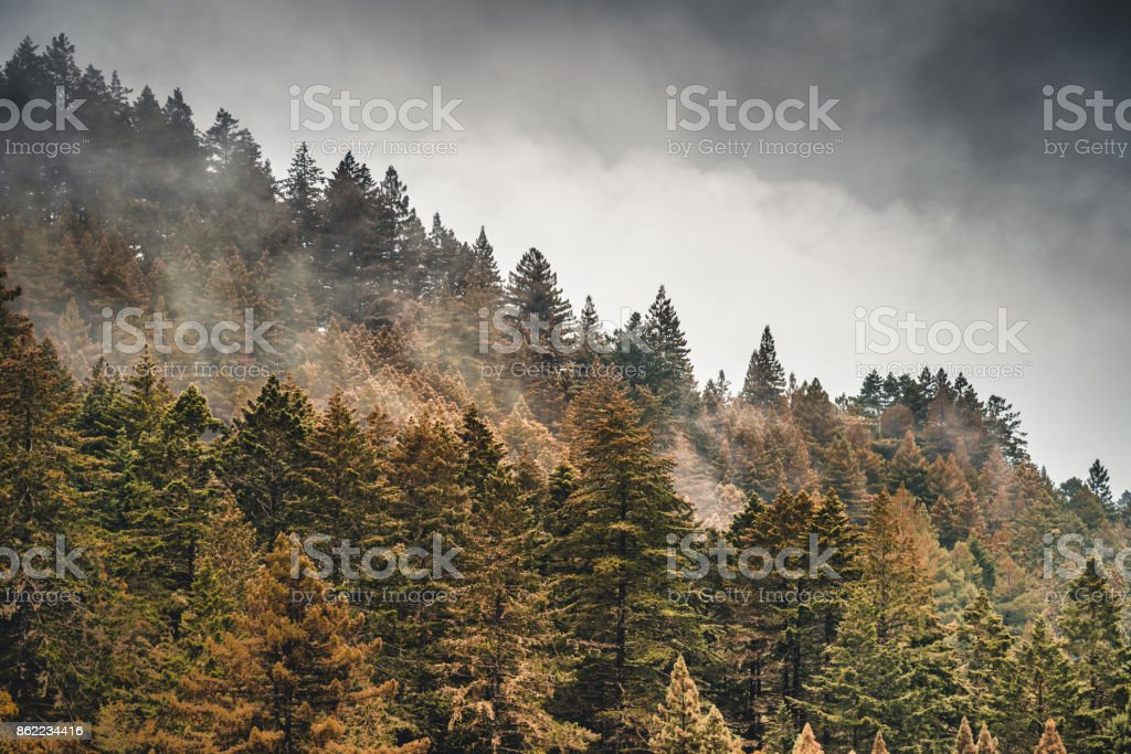 pine tree in the fog in oregon stock photo