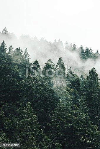 pine tree in the fog in oregon