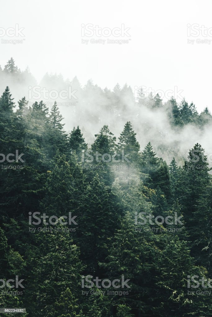 pine tree in the fog in oregon stock photo