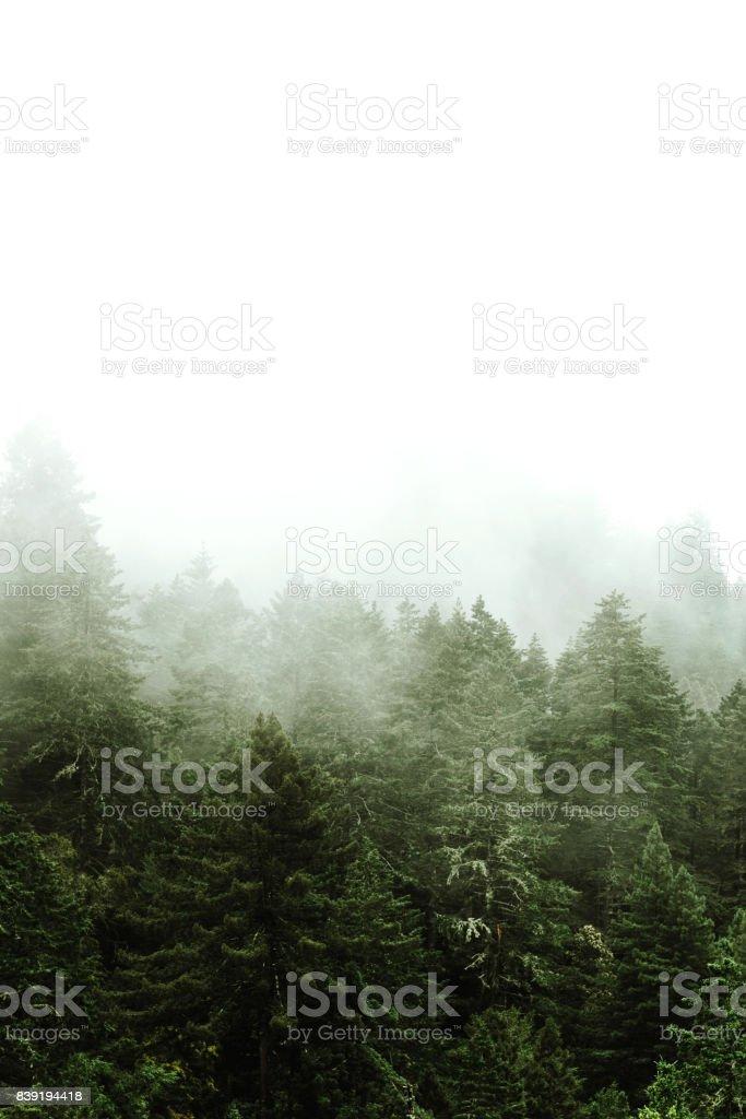 Kiefer Baum im Nebel - Lizenzfrei 1980-1989 Stock-Foto