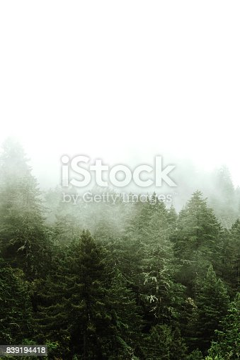 pine tree in the fog