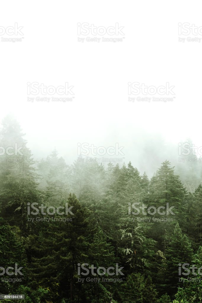 pine tree in the fog stock photo