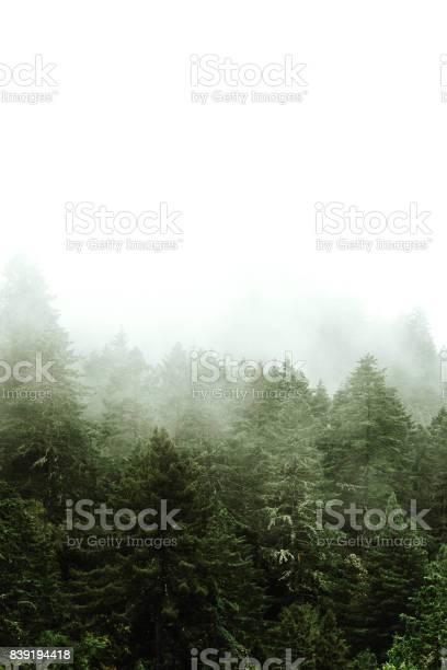 Kiefer Baum Im Nebel Stockfoto und mehr Bilder von 1980-1989