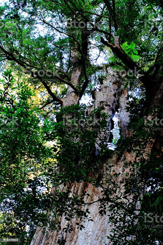 Pine Tree in the forest stock photo