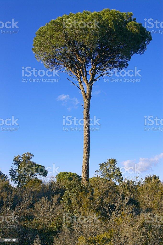 Pine tree in the sky stock photo