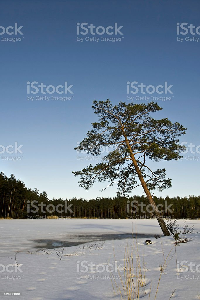 Pine tree in the winter royalty-free stock photo