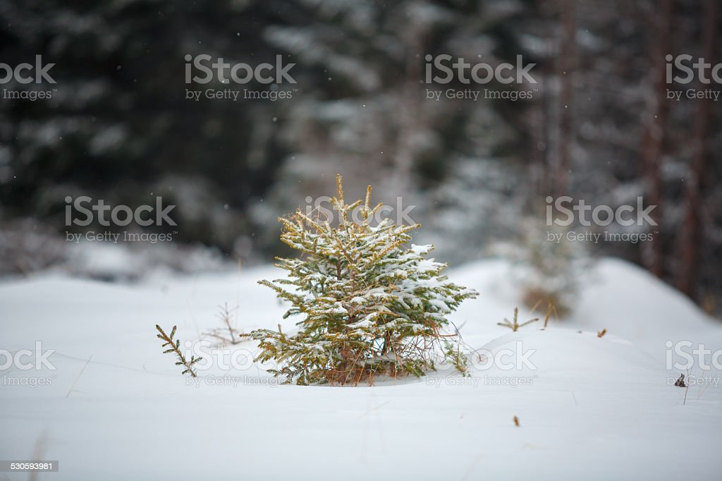 pine tree in winter stock photo
