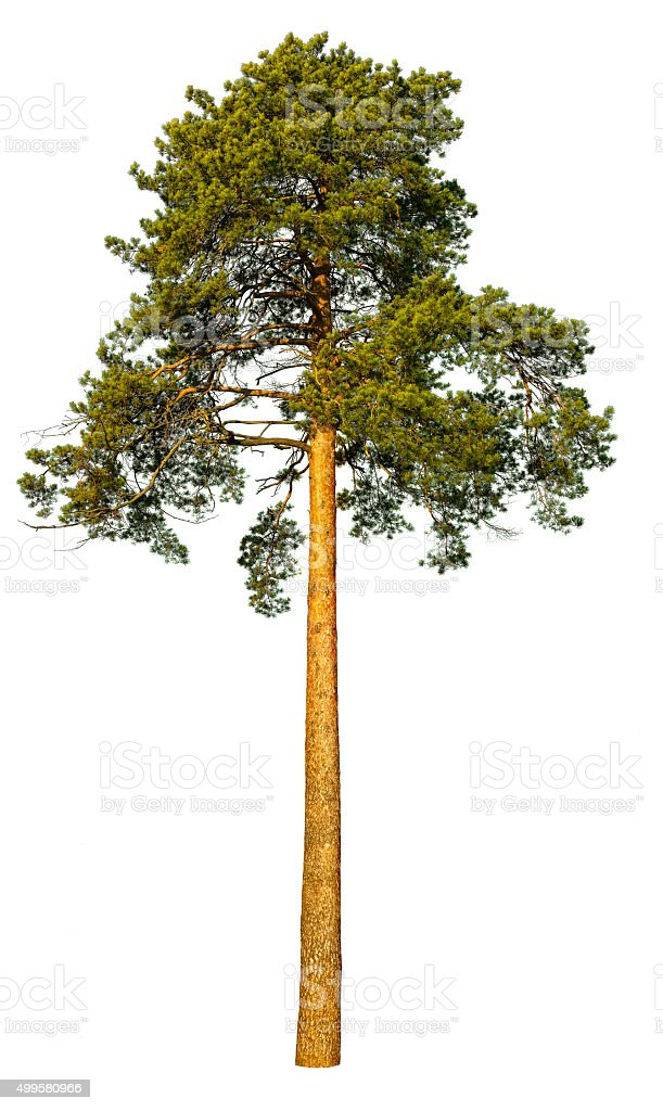 Pine tree isolated on a white background. stock photo