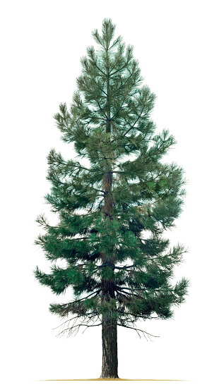 A pine tree isolated on a white background.