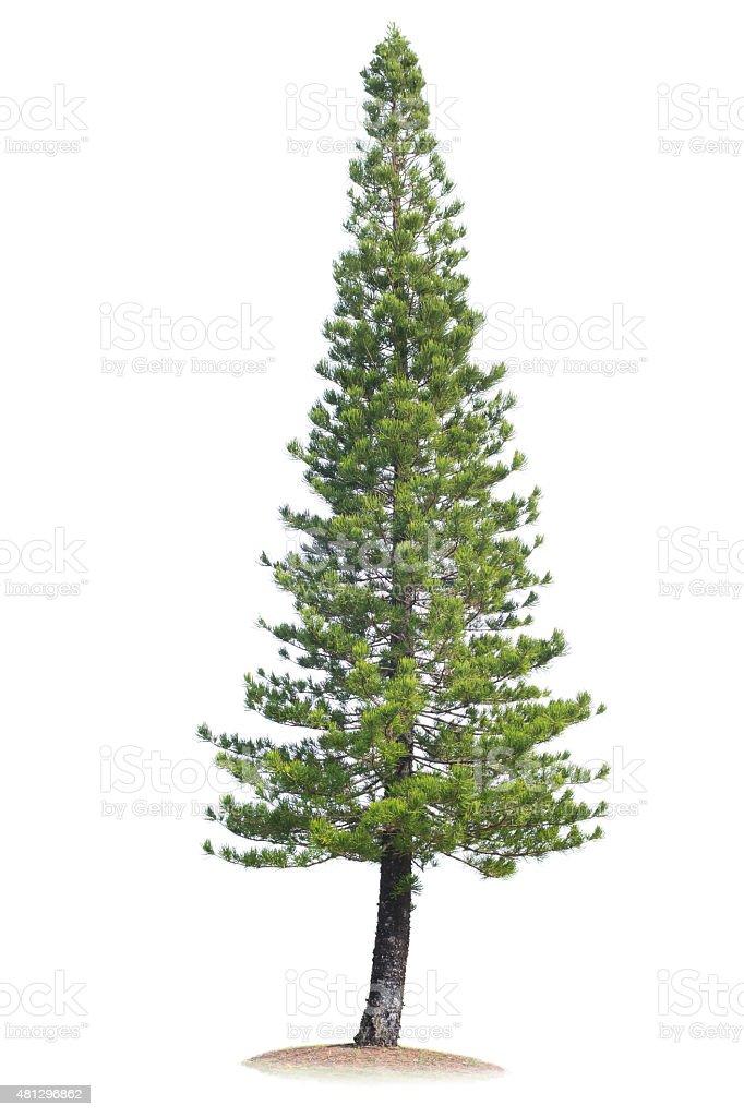Pine Tree Isolated on White stock photo