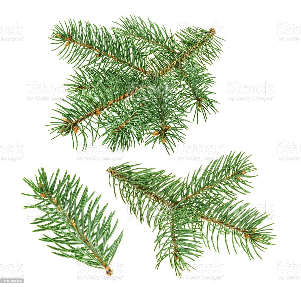 Pine tree isolated on white. without shadow stock photo