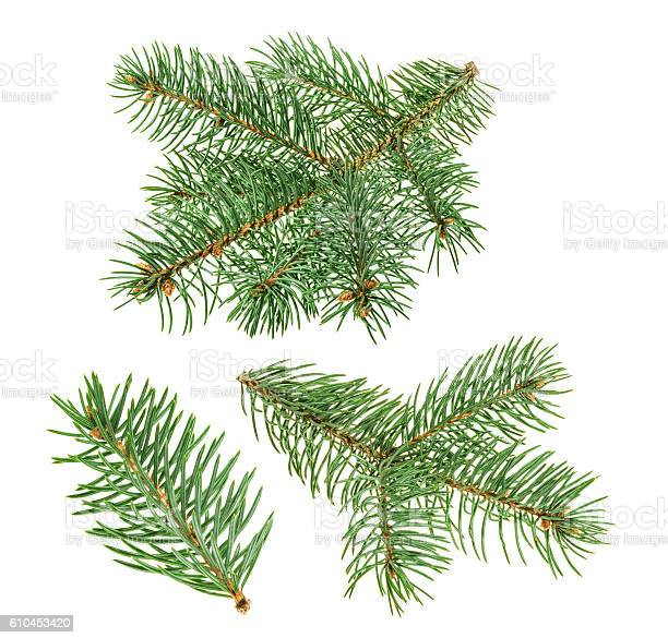 Photo of Pine tree isolated on white. without shadow