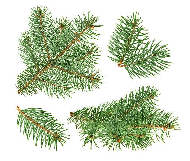 pine tree isolated on white. without shadow - kiefernzapfen stock-fotos und bilder
