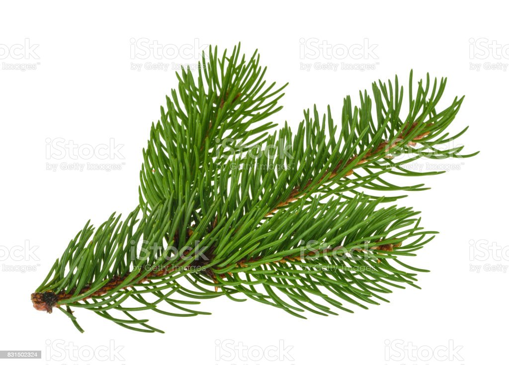 Pine tree isolated on white without shadow stock photo