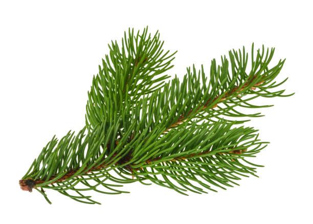pine tree isolated on white without shadow - branch plant part stock pictures, royalty-free photos & images