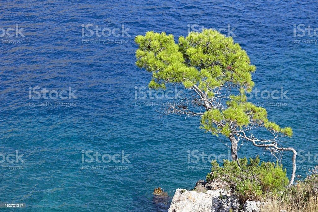 Pine tree near the sea royalty-free stock photo