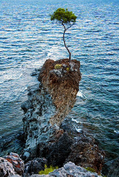 pine tree  on a rock by the sea stock photo