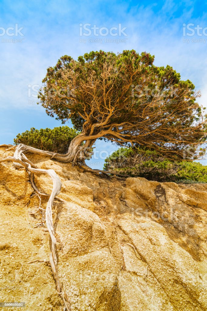 Pine tree on a rock in Sardinia royalty-free stock photo