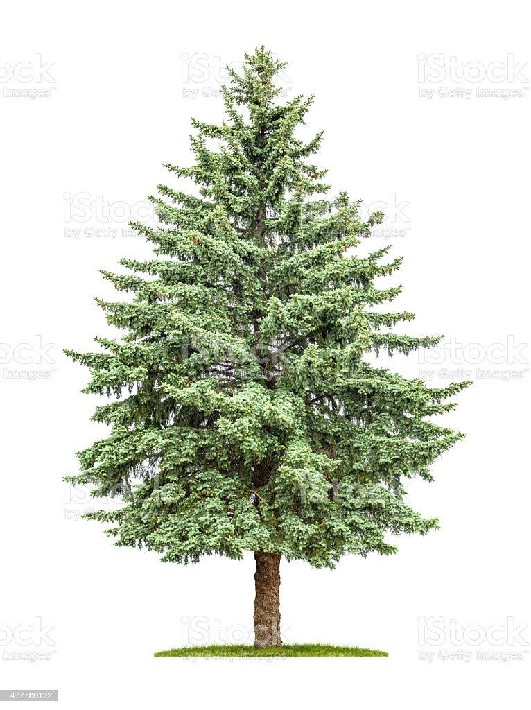 pine tree on a white background stock photo