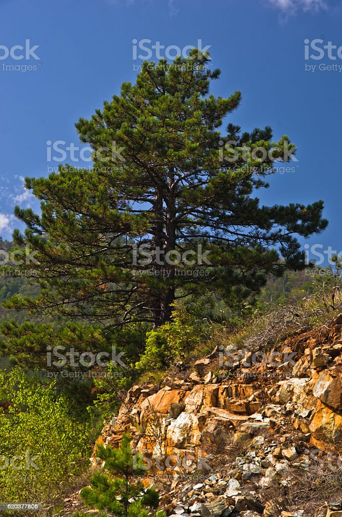 Pine tree on mountain Troglav at late summer zbiór zdjęć royalty-free