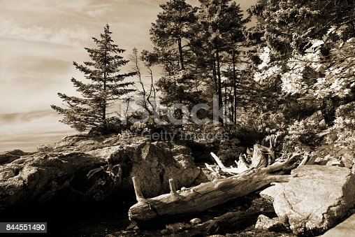 istock Pine tree on the Maine Coast 844551490