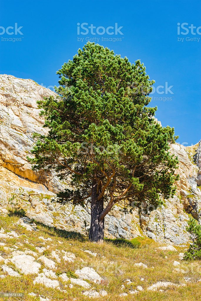 Pine tree on the mountainside. stock photo
