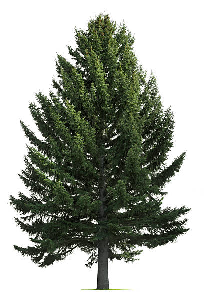 pine tree on white background - pine tree stock photos and pictures