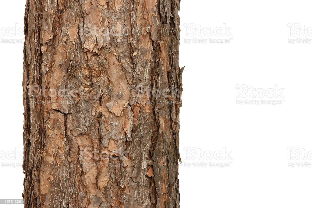pine tree stock photo