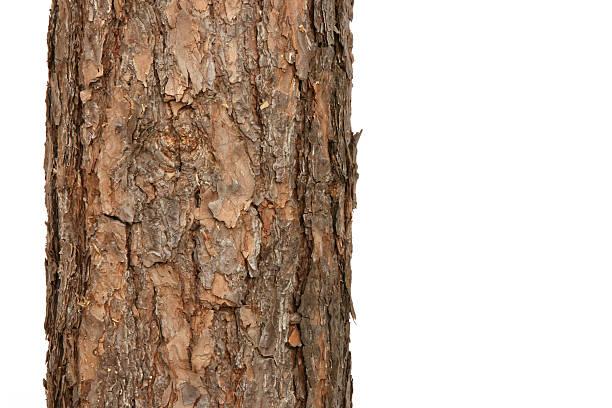 pine tree - fur bildbanksfoton och bilder