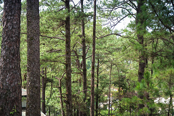 pine tree - baguio city stock photos and pictures