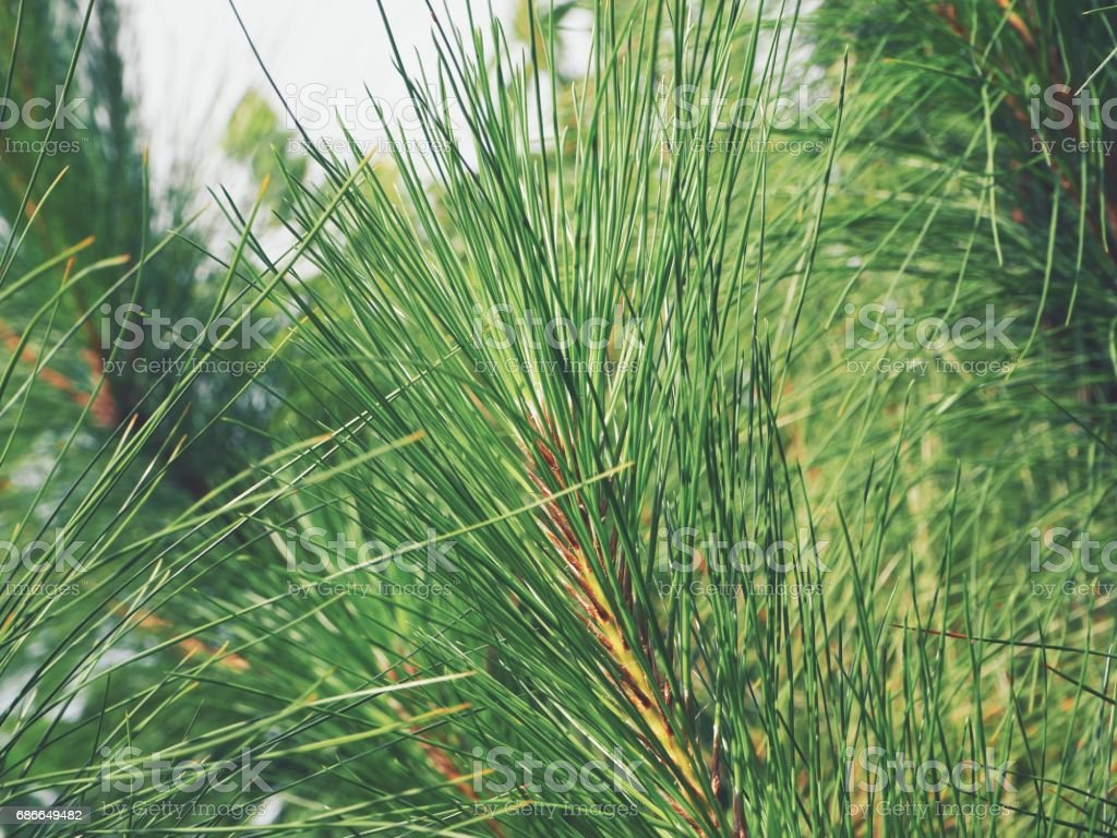 Pine tree royalty-free stock photo