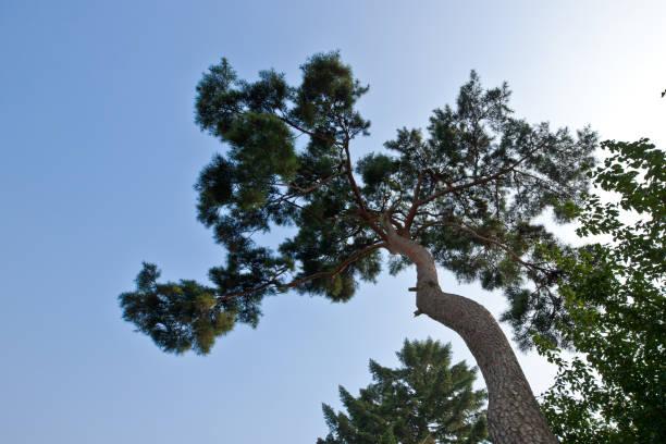 pine tree  - abschiedswünsche stock-fotos und bilder