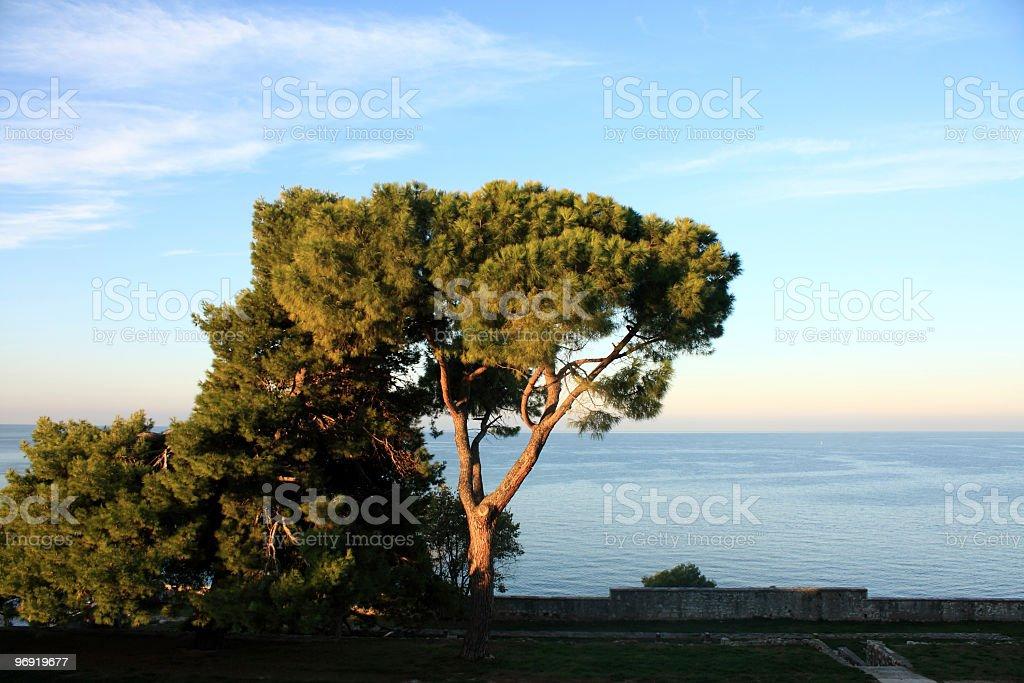 Pine Tree royalty-free stock photo