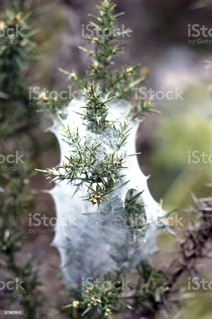 Pine tree royalty free stockfoto