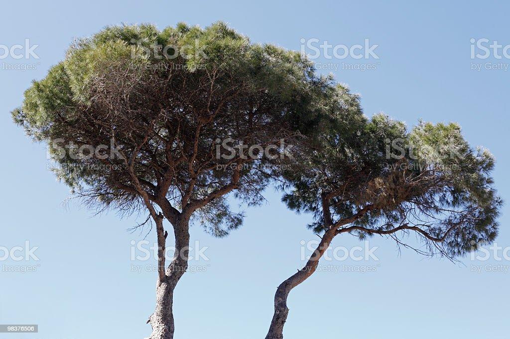 소나무 royalty-free 스톡 사진