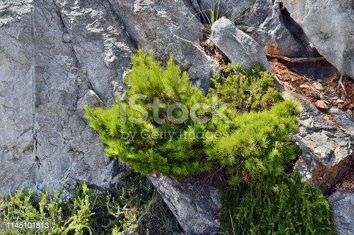 1145102719 istock photo Pine tree, pinus halepensis 1145101813