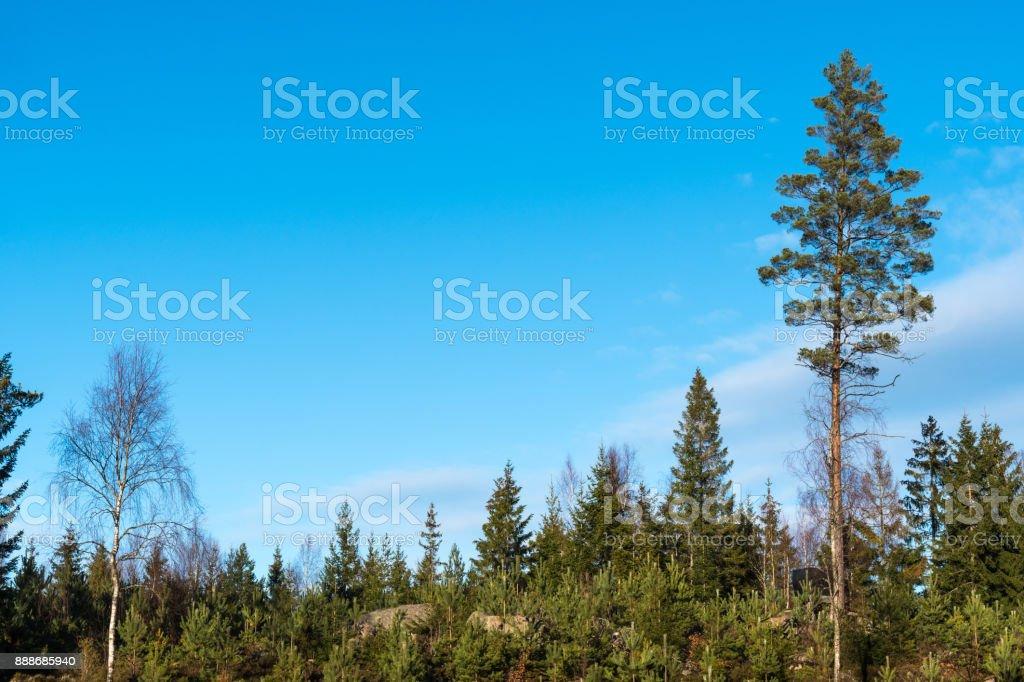 Pine tree plantation stock photo
