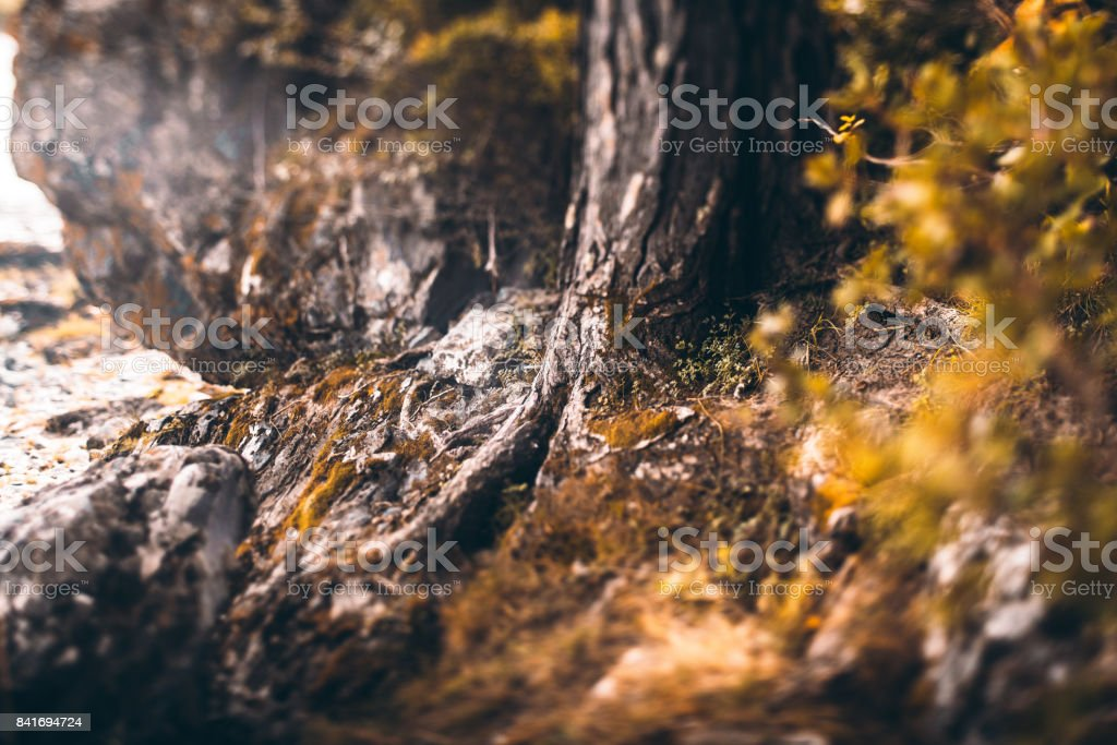 Pine tree roots fairy tale view stock photo