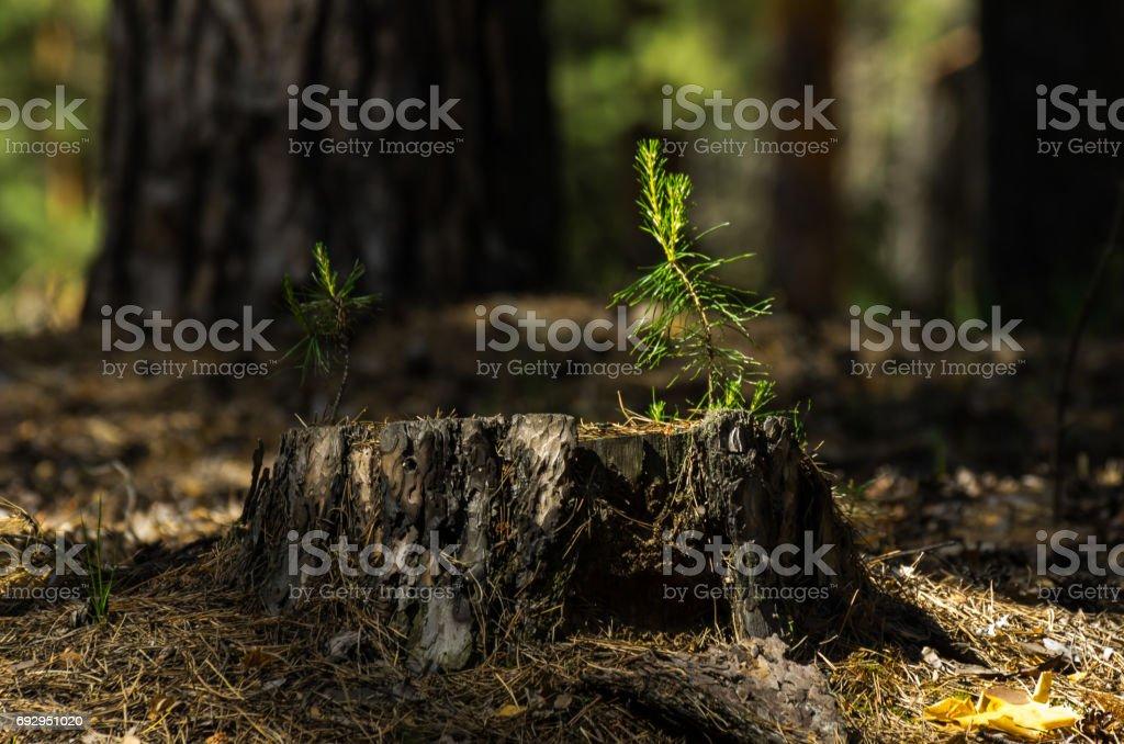 Kiefer Setzlingen Auf Einem Alten Baumstumpf Mit Hellen Sonne Im Wald Unscharfen Baumstamme