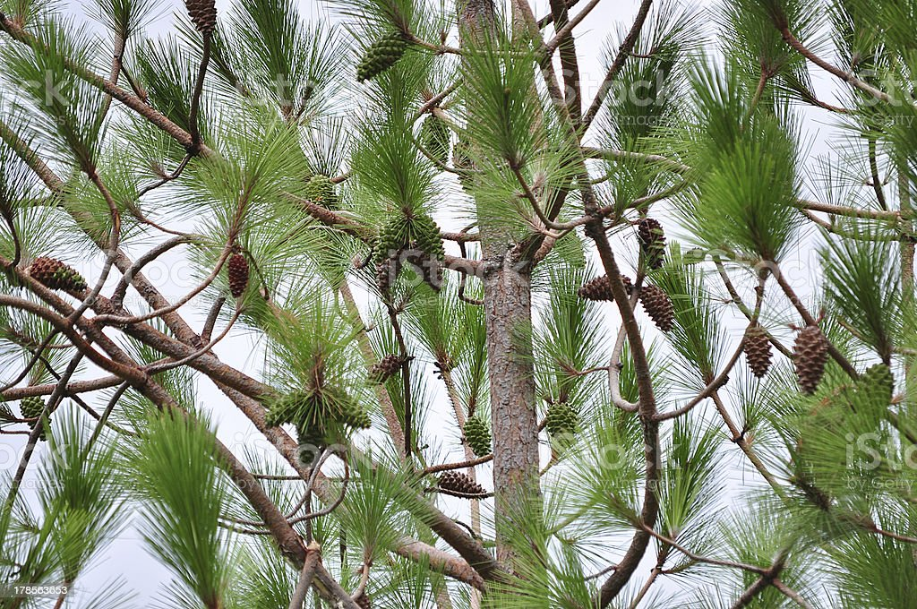 Pine Tree & Seeds, Very popular at Uttrakhand India. stock photo