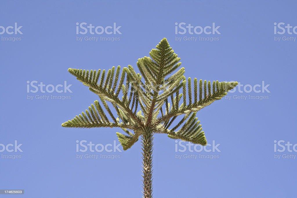 Pino tree top - foto stock
