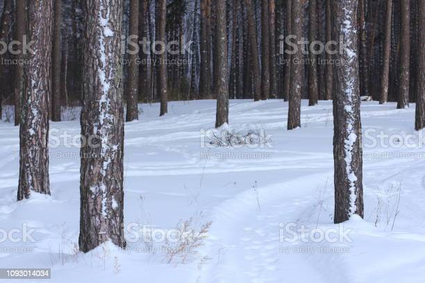 Photo of Pine tree trunk in winter forest.