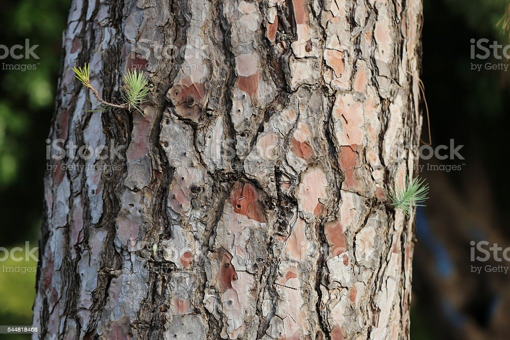 Pine Tree Trunk stock photo