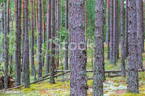 Pine tree trunks in  the forest