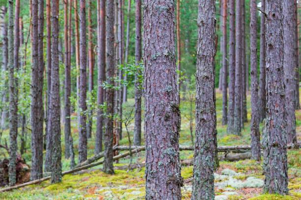 tall trädstammar i skogen - pine forest sweden bildbanksfoton och bilder