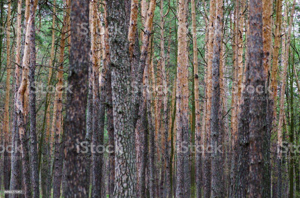 Pine tree trunks stock photo