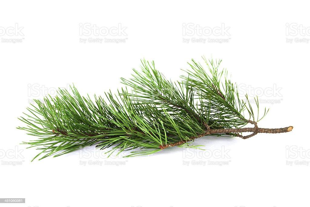 Pine tree twig stock photo