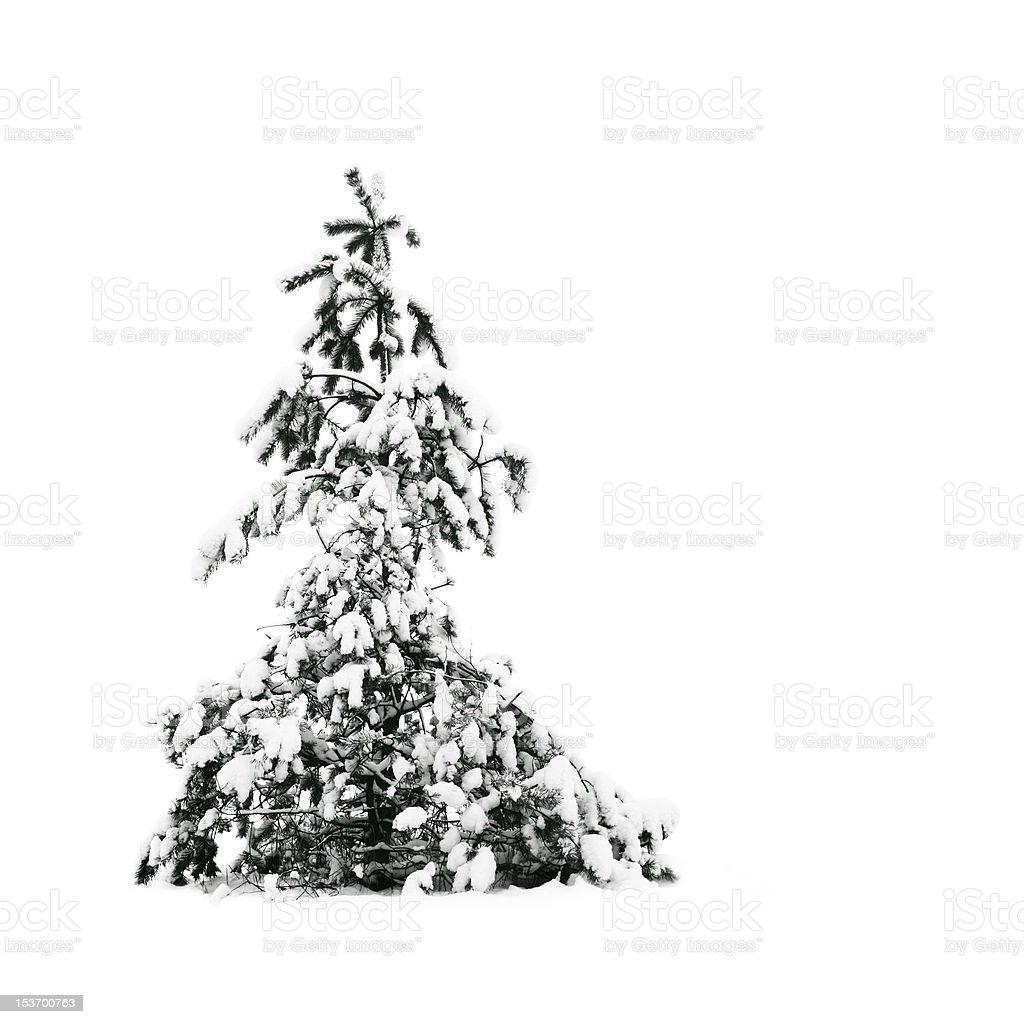 pine tree under white snow royalty-free stock photo