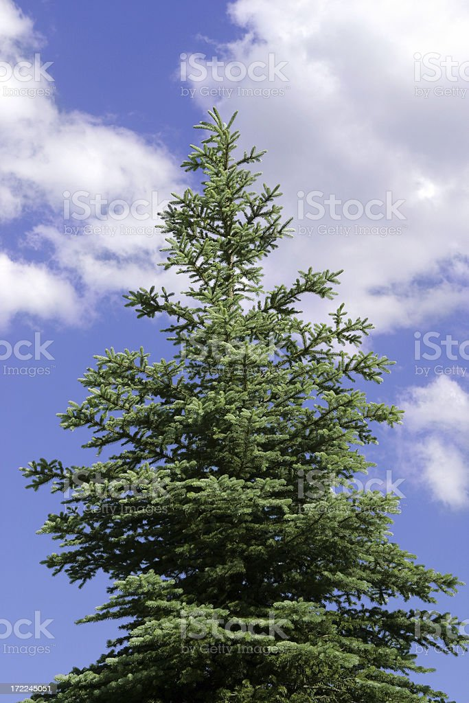 Pine Tree with Cloudscape royalty-free stock photo